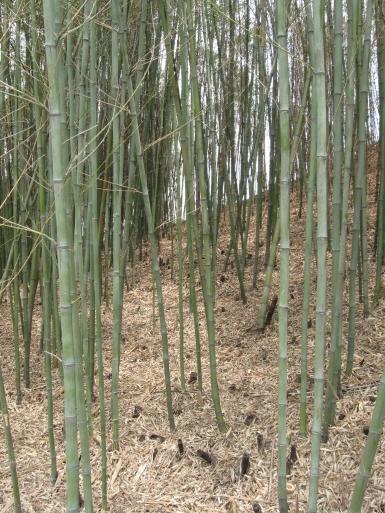Gyeongju Bambuswald Korea